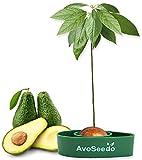 AvoSeedo das Besondere Garten Geschenk - Pflanzen Sie Ihren Eigenen Avocadobaum. Kleine Geschenke...