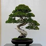 50 Wacholder Bonsai-Baum Topfblumen Büro Bonsai die Luft absorbieren schädliche Gase...
