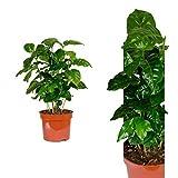Inter Flower -Coffea arabica 30 cm +/- Kaffeepflanze, Kaffee selbst anbauen, für Kaffeetrinker und...