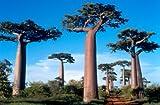 Affenbrotbaum Baobab Adansonia digitata 5 Samen