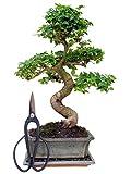 Zimmerbonsai chinesischer Liguster, ca. 9-10 Jahre, ca. 30-35 cm hoch (immergrün) KOSTENLOSE...