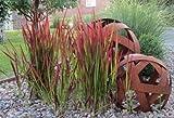 Pflanzenservice Ziergräser-Sortiment - Japanisches Blutgras ´Red Baron´ Gräser, 3 Pflanzen,...