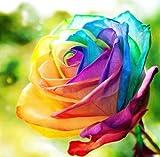 Regenbogen Rose / Einhornrose / Bunte Rose / ca. 50 Samen / Rosensamen / Geschenk für Verliebte /...