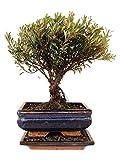 Bonsai Kirschmyrte myrte zimmertauglich anfängerbonsai zimmerbonsai immergrün ca. 7 Jahre ca....
