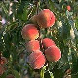 Flamingo Pfirsich, Buschbaum für den Garten, Prunus persica, Pfirsichbaum winterhart, Pfirsich rot...