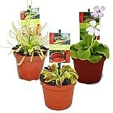Starter Set Fleischfressende Pflanzen - 3 Pflanzen