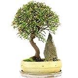 Chinesische Ulme, Bonsai, 9 Jahre, 34cm