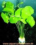 1 Bund Hydrocotyle verticillata, Hutpilzpflanze