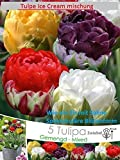 5x Eis Tulpe Ice Cream Mischung Bunt Zwiebel Frisch Blumenzwiebel DE Rarität Neu Blumen Garten...