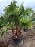 Washingtonia robusta Zimmerpalme Gartenpalme mit 2-3 Stämmen Stämmen ca.100-120 cm. Eine der...