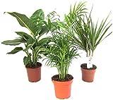 Pflanzenservice Zimmerpflanzen Set aus 1x Diefenbachie, 1x Zimmerpalme und 1x Drachenbaum (Dracaena...