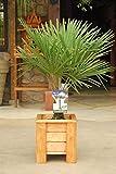 Blumen-Senf winterharte Palm  300-330cm–XXL hanfpalme -18°C trachycarpus Stamm 100-120 cm...