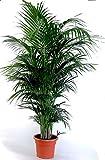 Die schönste Zimmerpalme der Welt ! Howea Forsteriana 'Kentia Palme' Anspruchslos von jedermann zu...
