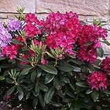 Pflanzenservice Rhododendron-Hybride 'Nova Zembla', 1 Pflanze, 20 - 30 cm hoch, 2 Liter Container,...