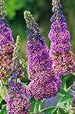 Sommer-Flieder 'Flower Power' (Buddleja Davidii) - Mehrfarbiger Schmetterlingsflieder von Garten...