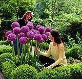 RIESEN ZIERLAUCH (Allium giganteum) - 30 Samen / Pack - winterharte Zierpflanze für den Garten -...