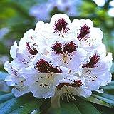 Rhododendron Sappho - 1 strauch
