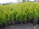 Thuja Lebensbaum 'Smaragd' Topfballen 50-60 cm 50 St. Hecke Heckenpflanze
