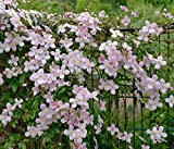 Pflanzenservice Kletterpflanzen, Duft-Clematis Tetrarose, 2 L Container, rosa, 60x14x14 cm, 315421