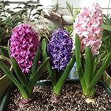 Bornbayb 300 Stücke Hyacinthus Orientalis Samen Orientalis Bonsai Blumensamen, farbe Gemischt