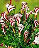 TRUE Oxalis Blumenzwiebeln (Oxalis Birne) selten Oxalis versicolor Candy Cane Sauerampfer Blume Dreh...