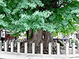 Echter Ginkgo -Ginkgo biloba- 3 frische Samen ***Kann über 1000 Jahre alt werden und 40 Meter...