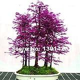 200pcs Rare Lila Chinesisches Rotholz Bonsai-Baum - Metasequoia glyptostroboides, DIY Hausgarten,...
