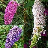 Schmetterlingsflieder Kollektion - 3 bäume