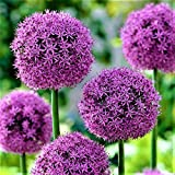 10x Blumenzwiebeln RIESEN ZIERLAUCH Allium ' Fireworks ' mit beeindruckender Blüte