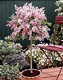 Flieder Palibin® als Stämmchen gezogen. rosa blühend. 1 Pflanze