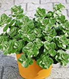 Coleus Canin 'Verpiss-Dich®'-Pflanze,3 Pflanzen Katzenschreck, Katzen-Stopp