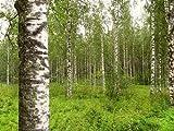 Birke (Betula/pendula) 50 Samen (Winterhart)