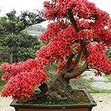Rhododendron 10 Samen Rhododendron Simsii Samen - Bonsai Pflanzensamen für Gartenbau
