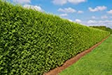 Heckenpflanze - Thuja occidentalis Brabant - Pflanzhöhe 180-200cm - BALLENWARE (10)