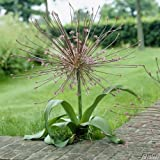 Allium Schubertii Igelkolben - 3 Zwiebeln Zierlauch / Kugellauch - Blumenzwiebeln zum Pflanzen und...