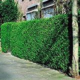 Liguster Hecke - 10 heckenpflanzen