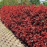 Glanzmispel Red Robin P9 - 5 heckenpflanzen