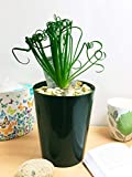 Easy Plants  1 immergrne Tischpflanze in schwarzem Keramik-Topf, Frizzle Sizzle Plant Curly Spiral...