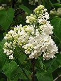 Weier Flieder Syringa vulgaris alba Pflanze 25-30cm Fliederstrauch Raritt