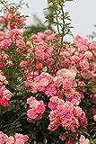 Vavrica 100 Stück Kletterrose Samen Kletterpflanze schnellwachsend Rose Samen Bunte Blumensamen...