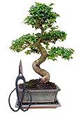 Zimmerbonsai chinesischer Liguster Bonsai ca. 9-10 Jahre ca. 30-35 cm hoch Immergrün inkl....