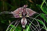 TOMHY Samen-Paket: 50 Samen - Schwarz Bat Flower - Fledermausblume