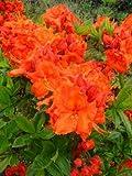 kupferrot blühende Garten Azalee Rhododendron luteum Gibraltar 30 - 40 cm hoch im 5 Liter...