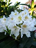 Alpenrose Rhododendron Cunningham's White 70 cm hoch mit Ballen