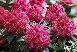 Rosarote Alpenrose - Rhododendron Nova Zembla - 50-60cm im 5 Ltr. Topf