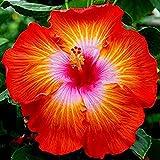 Eden-blumen 100 Stcke Riesen Hibiskus Pflanze Winterhart Samen Hibiskus Mehrjhrige Blume Fr...