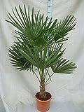 Trachycarpus fortunei, Palme, Hanfpalme Winterhart, Gesamthhe:120-140cm Stamm. 30+cm - Topf  30 cm -...