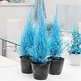 60pcs/Bag Rare blau Cypress Seed Mini Bonsai Morgenländischer Lebensbaum Ostmark arborvitae Garden...