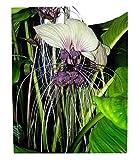100 Samen Weiße Fledermausblume'White-Bat-Flower' - Tacca integrifolia Teufelsblume
