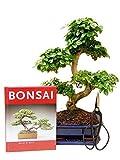 Anfänger Bonsai-Set Liguster, ca. 30-35cm, 4 teiliges Sparset (1 Liguster-Bonsai, 1 Schere, 1...